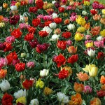 Murillo Tulip Bulbs