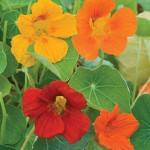 Nasturtium, Double Gleam Mixed Colors