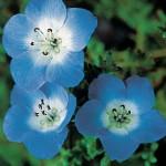 Nemophila, Baby Blue Eyes