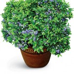 Northsky Blueberry Plants