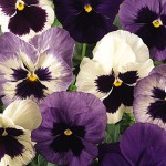 Pansy, Ocean Breeze Mix