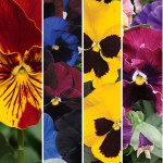 Pansy Seeds and Plants