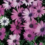 Passion Mix Blue Eyed Daisy Seeds