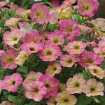 Petunia, Debonair Dusty Rose