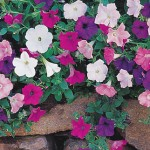 Petunia, Magic Carpet Hybrid Mix