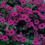 Petunia, Purple Wave™ Hybrid