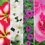 Petunia Seeds and Plants