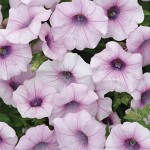 Petunia, Shock Wave™ Pink Vein