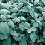 Plectranthus Seeds