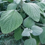 Plectranthus, Silver Shield