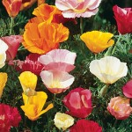 Poppy California, Sunset Mixed Colors