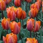Princess Irene Tulip Bulbs