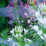 Queen Mixed Colors Cleome Seeds