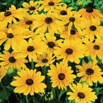 Rudbeckia, Indian Summer