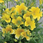 Salpiglossis, Royale Yellow