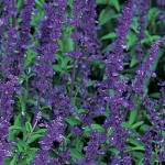 Salvia, Blue Bedder