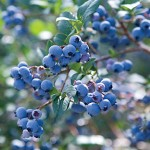 Sharpblue Blueberry Plants