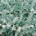 Silver Lace Dusty Miller Seeds