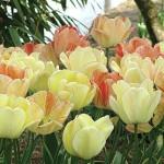 Silverstream Tulip Bulbs