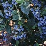 Star Blueberry Plants