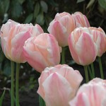 Sugar Love Tulip Bulbs