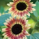 Sunflower, Strawberry Blonde Hybrid