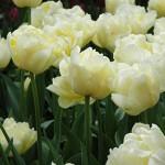 Verona Tulip Bulbs