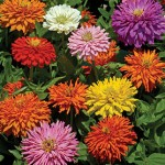 Cactus-Flowered Zinnias