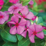 Vinca, Merry Go Round Grape