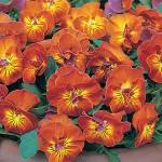 Viola, Amber Kiss Seeds