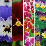 Violas Seeds