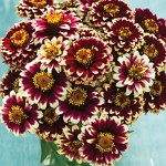 Zinnia Haageana, Color Crackle