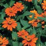 Zinnia, Profusion Orange Hybrid