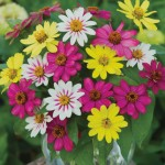 Zinnia, Raspberry Lemonade Mix
