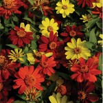 Zinnia, Zahara Bonfire Mix