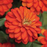 Zinnia, Zahara Double Fire