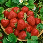 Eversweet Everbearer Strawberry Plants