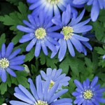 Blue Shades Anemone Bulbs
