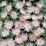 Charmer Anemone Blanda Seeds