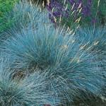 Elijah Blue Fescue Grass
