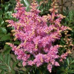 Hyacinth Astilbe Plant