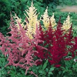 Mixed Astilbe Plant