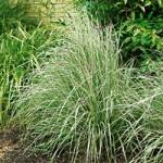 Overdam Calamagrostis Grass