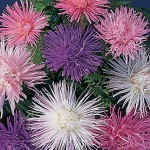 Aster Fireworks Mixed