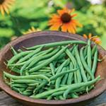 Prevail Bean Seed