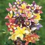 Columbine Harlequin Mixed Colors
