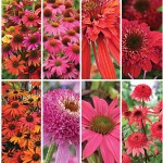 Echinacea Seeds and Plants