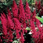 Fanal Astilbe Plant