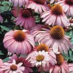 Magnus Echinacea Seeds