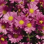 Mammoth Dark Pink Daisy